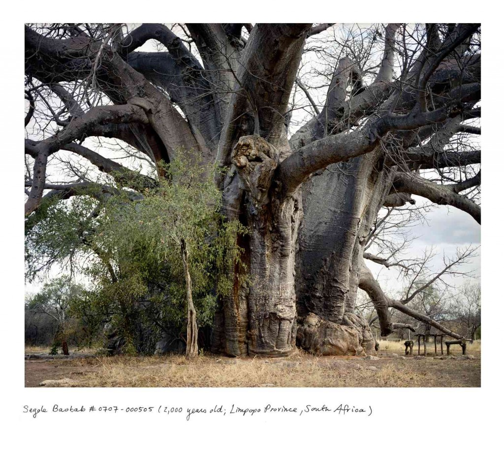 from Rachel Sussman's The Oldest Living Things in the World - Baobab