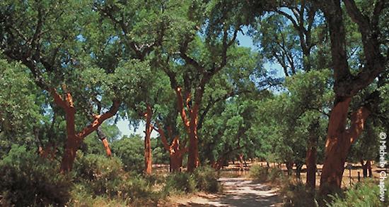 Mediterranean cork oaks