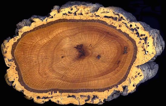 Cork Oak Trunk Section