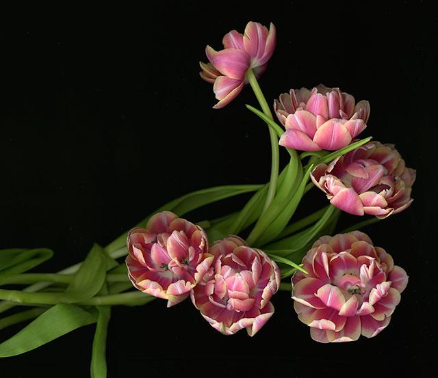 double_tulips_2016.640